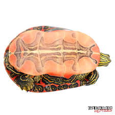 Blind Turtle Prices Underground Reptiles Exotic Reptiles Amphibians Lizards And
