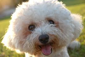 bichon frise 17 years old bichon frise skin problems petful