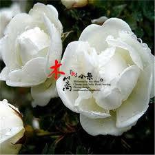 Fragrant Jasmine Plant - china fragrant jasmine plants china fragrant jasmine plants
