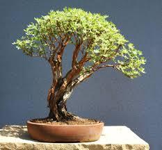 bonsai australian native plants image result for potentilla bonsai bonsai native species