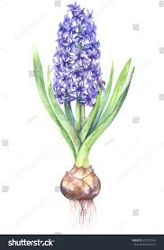 Hyacinth Flower Watercolor Purple Hyacinth Flower Illustration Isolated Stock