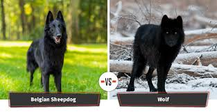belgian sheepdog wolf hybrid dogs that look like wolves 22 dogs that have a lupine look