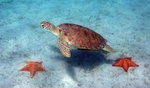 imagenes tortugas verdes tortugas verdes 5 hechos curiosos acerca de estas tortugas marinas