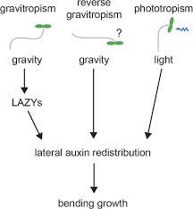 lazy genes mediate the effects of gravity on auxin gradients and