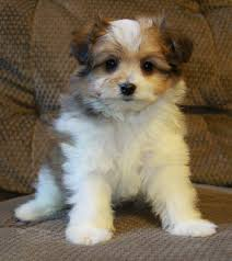 bichon frise shih tzu mix for sale 25 unreal pomeranian cross breeds you have to see to believe