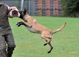 belgian malinois near me belgian malinois for sale trained belgian malinois wolfsbane k9
