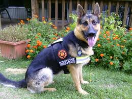 belgian sheepdog breeders indiana 270 best working gsd images on pinterest military dogs military