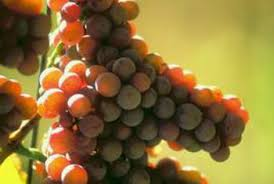 How To Grow Grapes In Your Backyard by Tips On A Layout Of Grapevines On A Backyard Fence Home Guides