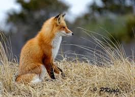 red fox profile ibsp by peter kefali my little foxes