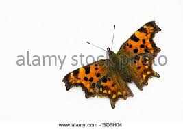 butterfly photo album polygonia c album comma butterfly on late cotoneaster shrub with