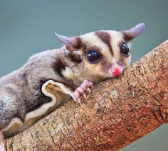 sugar glider products u0026 education the home for vet recommended