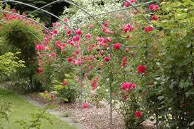 Fragrant Climbing Plant - learn plants botanic garden hokkaido university