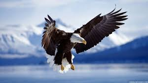 stellers sea eagle wallpapers 20 different types of eagles with pictures eagle wallpaper no