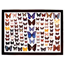 butterflies butterfly mounts moth and butterfly displays