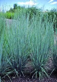 bluestem ornamental grass blooms in summer 1 5 4