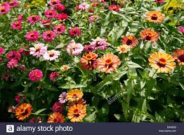 Zinnia Flowers A Bed Of Zinnia Flowers Stock Photo Royalty Free Image 19427923
