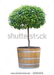 citrus tree pot stock photo 785065750