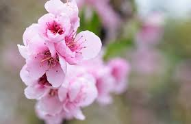 Peach Flowers Peach Blossom Free Pictures On Pixabay