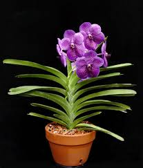 vanda orchids vanda care