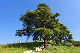 lebanon cedar information tips on growing cedar of lebanon trees
