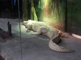 albino alligator pics