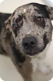 american pitbull terrier 7 months bryan tx american pit bull terrier mix meet a puppy for