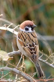 best 25 sparrows ideas on pinterest pretty birds sparrow bird