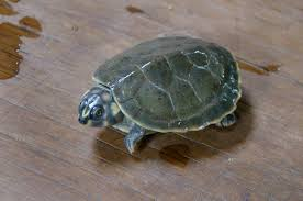 Six-tubercled Amazon River turtle