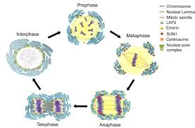 Mitosis Worksheets Mitosis Stages Diagram The Reference For This Unit Is The Course