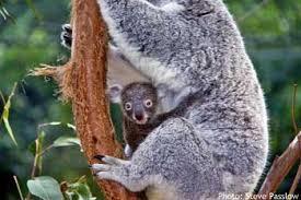 baby koala facts cute species sydneycloseup