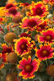 native utah plants arizona sun blanket flower monrovia arizona sun blanket flower
