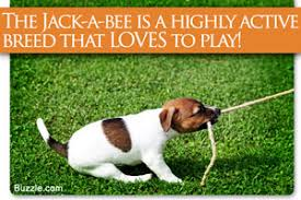 bluetick coonhound jack russell mix facts about the blue tick beagle a rather rare dog breed