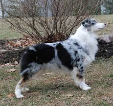 mdr1 australian shepherd kasey caliquin australian shepherds u0026 english cockers
