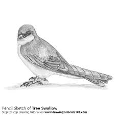 tree swallow pencil drawing how to sketch tree swallow using