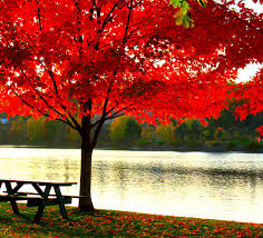 maple trees here s a gorgeous maple tree by the