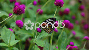 butterfly on flowers slow motion video clip 55870792