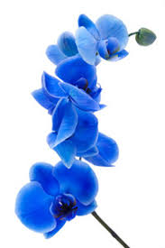 blue orchids orchid plant care house plants flowers