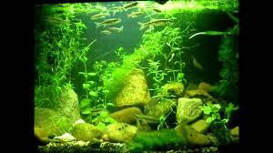 native aquatic plants uk coldwater minnow aquarium youtube