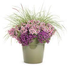 Plants For Dark Rooms by Dark Knight Sweet Alyssum Lobularia Hybrid Proven Winners
