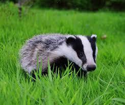 badger diet breeding facts habitat pictures behavior life