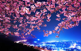 cherry blossom tree drawing wallpaper