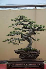 best 25 bonsai plants ideas on pepper plants bonsai