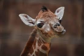 rare rothschild u0027s giraffe born on boxing day at chester zoo
