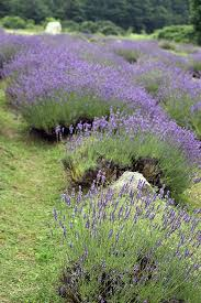 lavender labyrinth shelby mi health naturally health naturally visits two north michigan gardens