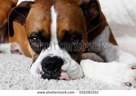 boxer dog female boxer dog stock images royalty free images u0026 vectors shutterstock