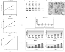 activity of cdc2 and its interaction with the cyclin cdc13 depend