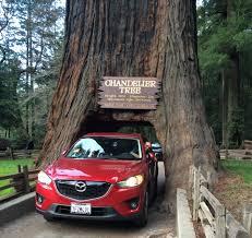 Chandelier Tree California Drive Thru Chandelier Tree Sequoia Redwood Legget California
