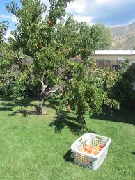 mashed potatoes and crafts reparing broken fruit tree or peach