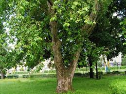 tid offers discount shade trees