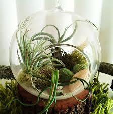 106 best air plants or tillandsia images on pinterest air plant
